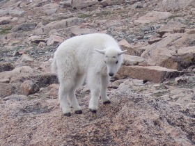 Mount Evans Mountain Goat kid