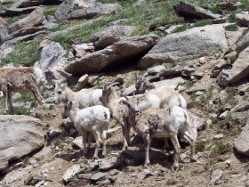 Mount Evans Bighorn Sheep