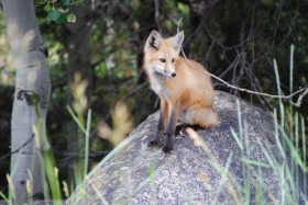 A fox we saw in the mountains above Basalt, Colorado