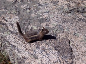 Ground Squirrel, Rocky Mountain National Park