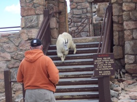 Mount Evans Mountain Goat coming back down the stairs