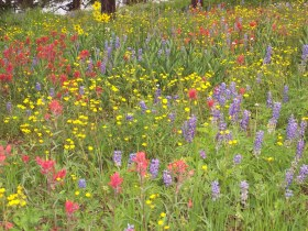 Rabbit Ears Pass wildflowers near Steamboat Springs
