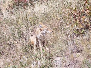 Coyote in Rocky Mountain National Park