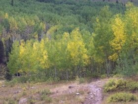 Dark Canyon trail aspens, Colorado