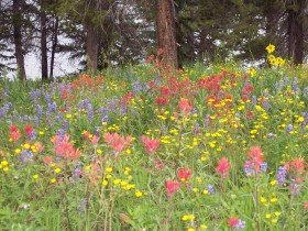 Steamboat Springs wildflowers